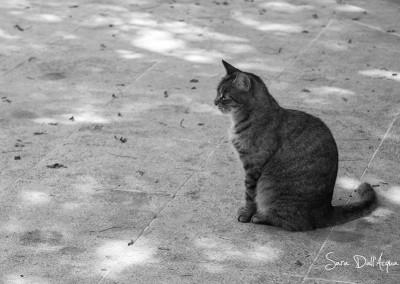 Chat tigré Malte