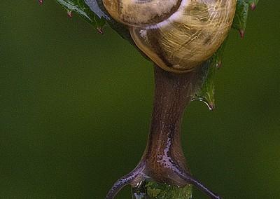 Escargot goutte d'eau